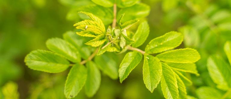 Польза листьев шиповника