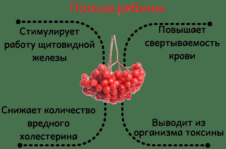 Польза красной рябины