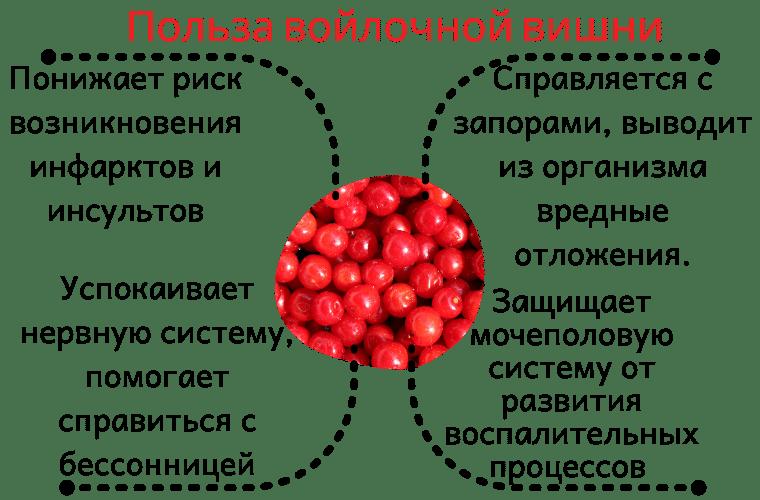 Польза войлочной вишни