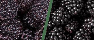 В чеем разница между ежевикой и черной малиной