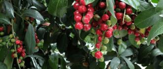 Лавровая вишня ягода