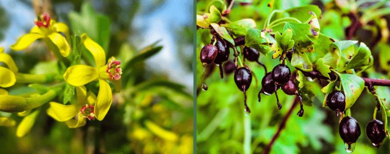 Цветы смородины дикой