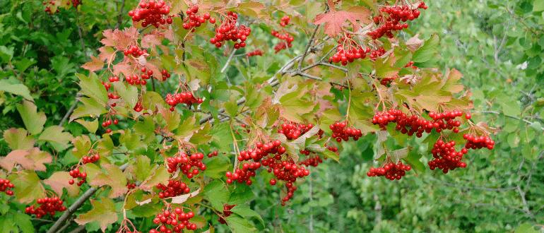 Калина садовая